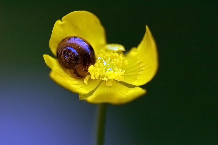 Escargot sur bouton d'or