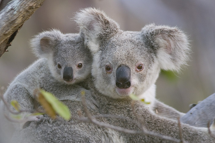 http://richardg.blogs.com/photos/uncategorized/2007/09/14/les_koalas.jpg